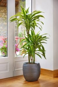 indoor-plants-green-dragon-dracena-2