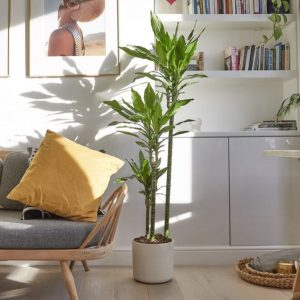 indoor-plants-green-dragon-dracena-3