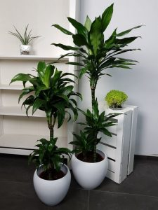 indoor-plants-green-dragon-dracena-7