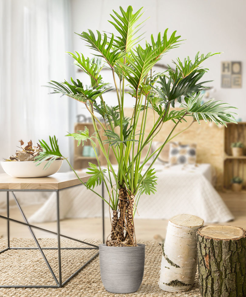 indoor-plants-green-fingers-philodendron-1