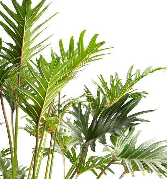 indoor-plants-green-fingers-philodendron-2
