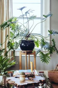 indoor-plants-green-fingers-philodendron-4