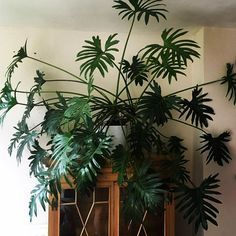indoor-plants-green-fingers-philodendron-5
