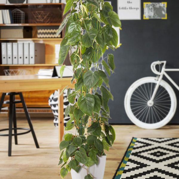 indoor-plants-green-giant-philodendron-1