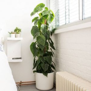 indoor-plants-green-giant-philodendron-2