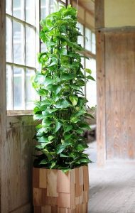 indoor-plants-green-giant-philodendron-6