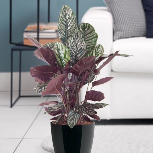 indoor-plants-pink-kiss-calathea-20