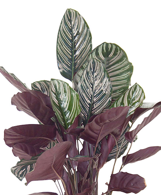 indoor-plants-pink-kiss-calathea-21
